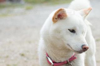 つらそうな柴犬の写真・画像素材[484042]
