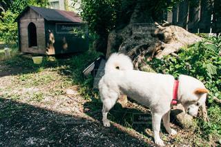 犬,夏,動物,庭,白,暑い,悲しい,ペット,柴犬,猛暑,ぐったり,疲労,疲れた,つらい,犬小屋,kt_pics