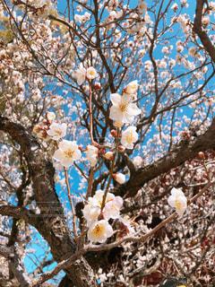 春が来たの写真・画像素材[1833733]