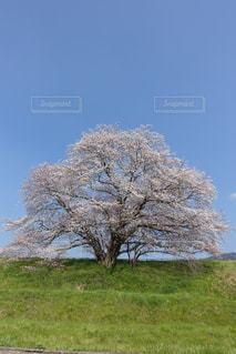 芝生広場の大きな木の写真・画像素材[1111067]