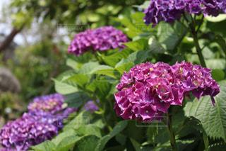 No.537121 紫陽花、夏、初夏、梅雨、雨、花、綺麗