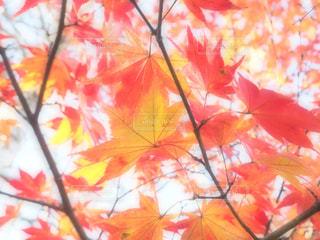紅葉♡ - No.814218