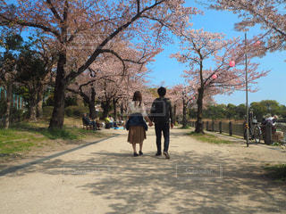 春,カップル,ピンク,青空,手繋ぎ,お花見,デート,お散歩