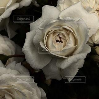 白き薔薇 - No.913834