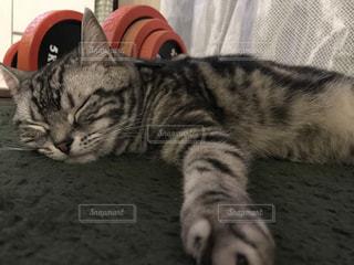 横になって、カメラを見ている猫の写真・画像素材[1259520]