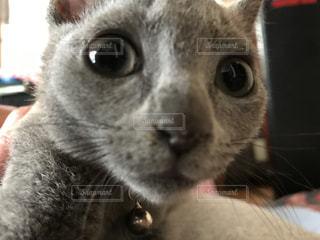近くにカメラを見て猫のアップの写真・画像素材[1441676]