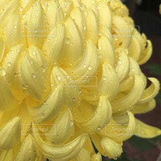 花,黄色,水滴,イエロー,黄,菊