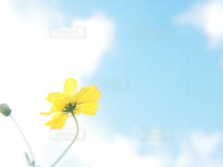 空,花,コスモス,青空,黄色