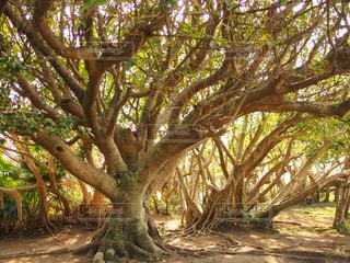 大きな木の写真・画像素材[1404659]