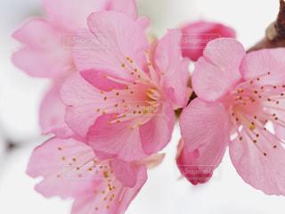 桜の写真・画像素材[1793333]