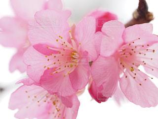 桜の写真・画像素材[1793338]