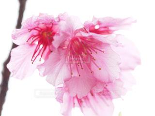 桜の写真・画像素材[1793339]