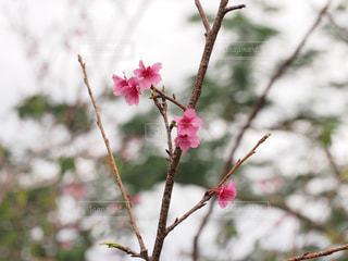 桜の写真・画像素材[1793340]