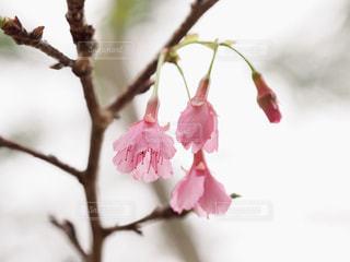 枝に座っているピンクの花の木の写真・画像素材[1793341]