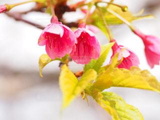 桜の写真・画像素材[1793374]