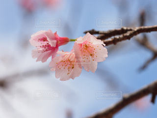 桜の写真・画像素材[1793389]