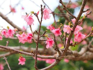 桜の写真・画像素材[1793408]