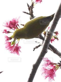 桜が好きな琉球メジロの写真・画像素材[1793412]