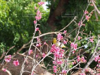 桜が好きな琉球メジロの写真・画像素材[1793414]