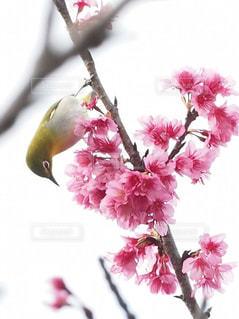 桜が好きな琉球メジロの写真・画像素材[1793419]