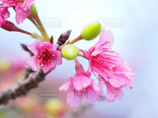 桜の写真・画像素材[1793422]