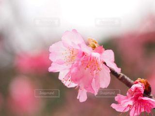 桜の写真・画像素材[1793425]
