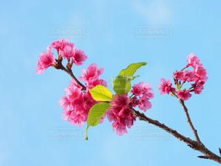 桜の写真・画像素材[1793429]