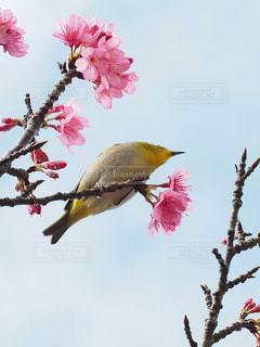 桜が好きな琉球メジロの写真・画像素材[1793434]