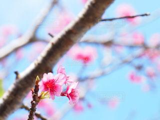 桜の写真・画像素材[1793436]