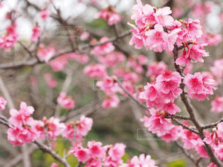 桜の写真・画像素材[1793757]