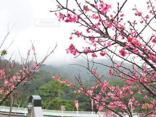 霧に覆われた山と、麓の桜の写真・画像素材[1793760]