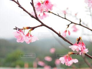 桜の写真・画像素材[1793763]