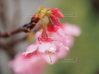 雨上がりの桜の写真・画像素材[1793768]