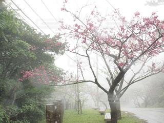 霧の中の桜の写真・画像素材[1793773]