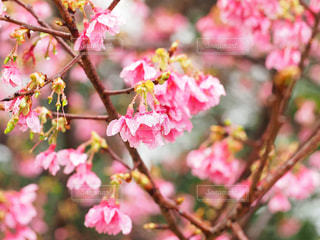 桜の写真・画像素材[1793775]