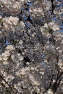 自然,花,春,桜,木,屋外,青空,満開