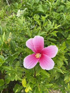 花,屋外,ハイビスカス,沖縄,草木,国内旅行,フローラ