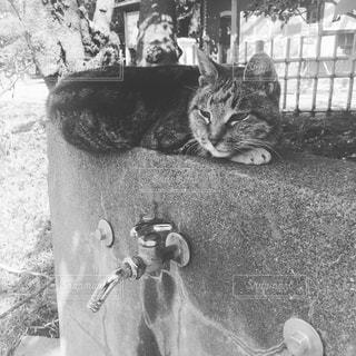 猫の黒と白の写真 - No.821594