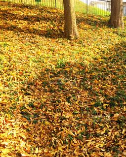 黄色の絨毯の写真・画像素材[858060]
