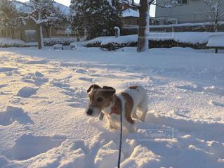 雪で覆われている犬の写真・画像素材[995592]