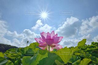 蓮と太陽の写真・画像素材[2879114]