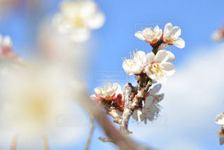 梅の花の写真・画像素材[3023923]
