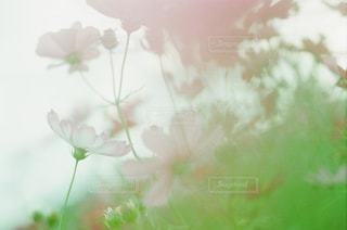 花,花畑,コスモス,秋桜