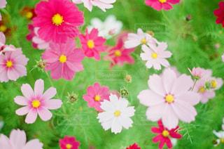 花,花畑,コスモス,秋桜,静岡県