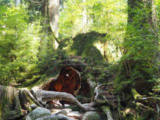 フォレスト内のツリーの写真・画像素材[916386]