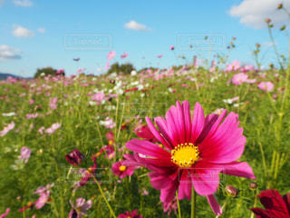花,コスモス,青空,コスモス畑,万博記念公園