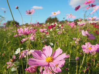 フィールドにピンクの花の写真・画像素材[1457482]