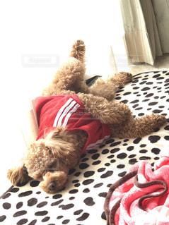 犬,寝顔,トイプードル