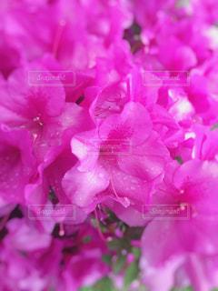 花,ツツジ,大分,花絶景