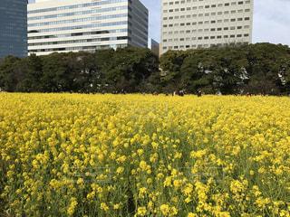 菜の花の写真・画像素材[581793]